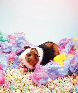 4 LowMaintenance Pets Guinea pigs, Pets and Hard times