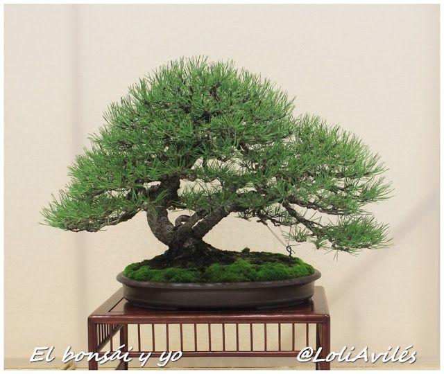 El bonsái y yo