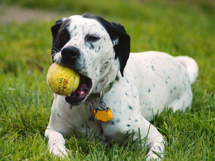 Simple Dalmation Chubby Adorable Dog - 3a42a1c2e0a30701303cccf7e7ce8f15--big-dogs-cute-dogs  Gallery_99737  .jpg