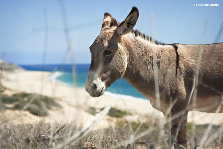 Donkey in the beach #josafatdelatoba #cabophotographer #loscabos #sanjosedelcabo #beach #donkey #landscapephotography
