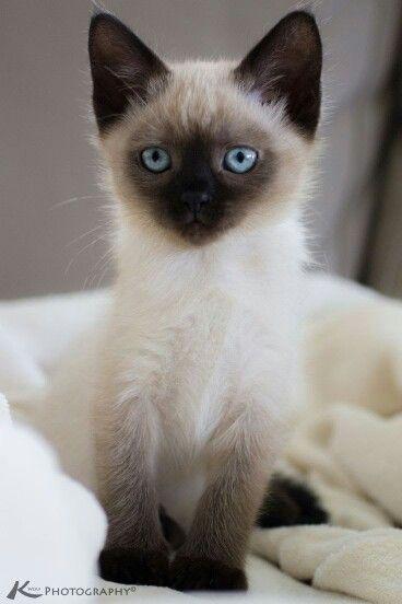 Best 25 munchkin kitten ideas on pinterest munchkin cat for Siamese 9 electric motor