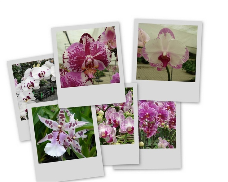 Orchidee  Copyright © FLORPAGANO di A. Pagano - Ruvo di Puglia (Ba) www.florpagano.com