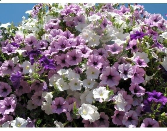 Flower Varieties For Hanging Baskets : Ideas about hanging flower baskets on