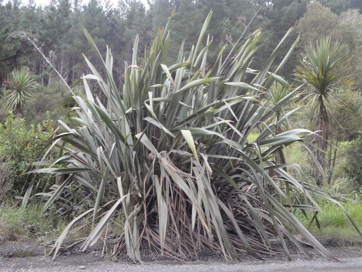 Einheimische neuseeländische Pflanzen, die auch essbar sind - Teil 2