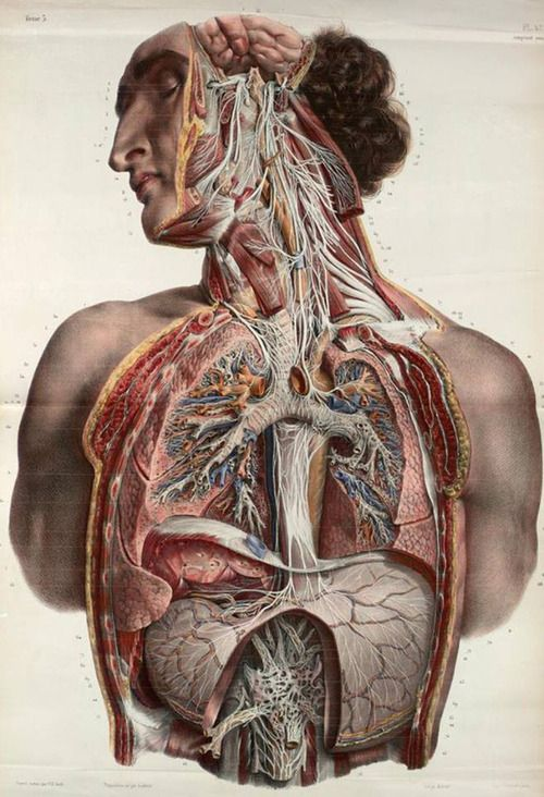38 best ANATOMIE images on Pinterest | Anatomy, Anatomy reference ...