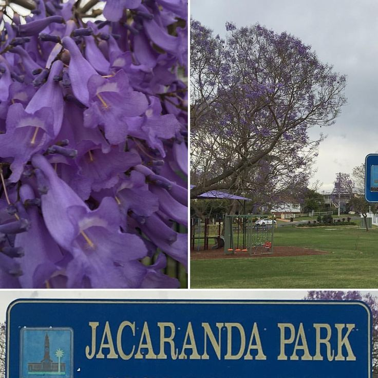 Jacaranda trees are turning the landscape purple. An Australian favourite for warm temperate and subtropical climates. #jacarandatree #daleysfruit #springflowers #gardeningaustralia