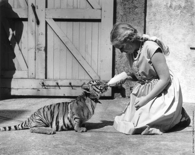 best essay competition ideas essay writing penny moon winner of the knowledge essay competition feeding suki the tiger cub at london zoo photo by william vanderson fox photos getty images