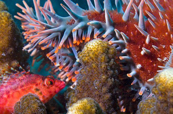Tra i fondali, Cabo Pulmo   Fotografia di  Octavio Aburto, ILCP  Una  Cirrhitidae  aggredisce una stella corona di spine ( Acanthaster planci ) tentando di nutrirsi di corallo nel Parco Nazionale messicano di  Cabo Pulmo. I pesci ed altre forme di vita marina hanno ripopolato questa riserva vicino a