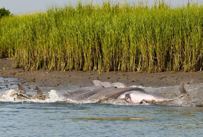 94 best wildlife sightings on kiawah images on pinterest for Kiawah island fishing