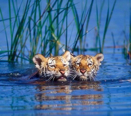Tiger cubs enjoying a swim.