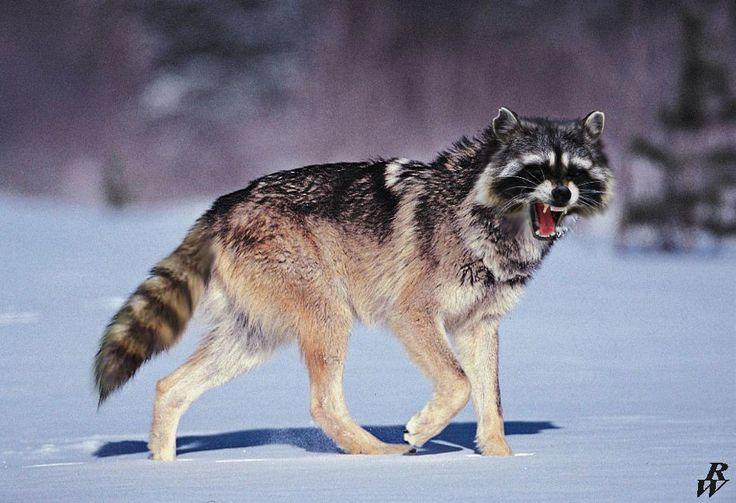 An angry Raccoolf