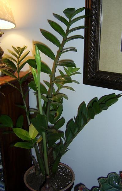 Palmuvehka - Zamioculcas zamiifolia - zamiakalla