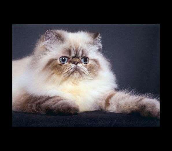Gato Himalaio - Reprodução / Petsclan