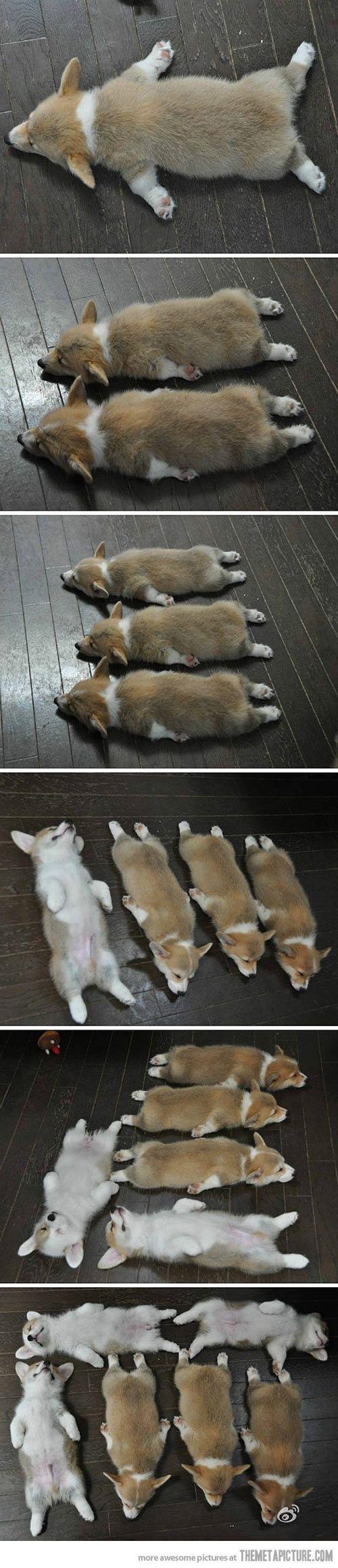 I just want a herd of corgi puppies.
