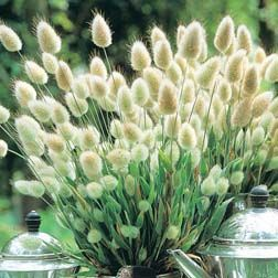 Bunny tails - ornamental grass