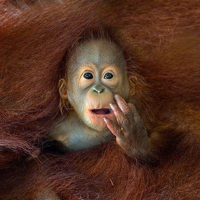 Un cucciolo di orango tango sbircia il mondo dall'abbraccio della madre