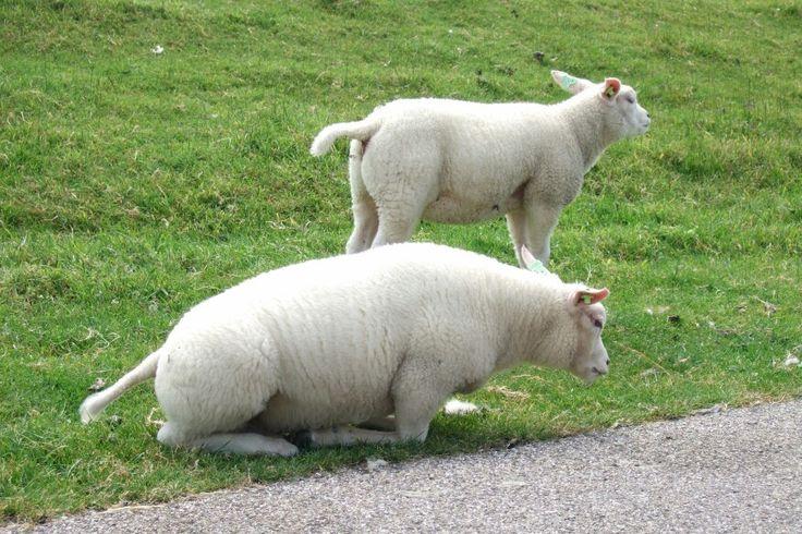 Schattige schaapjes op Texel