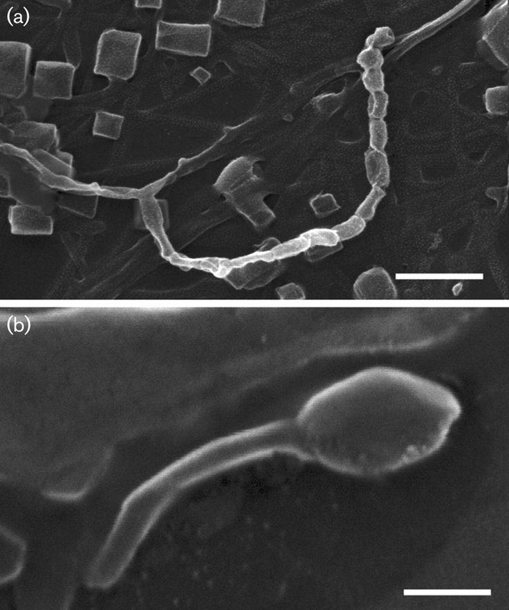 Streptomonospora halophila  [000.009.453]