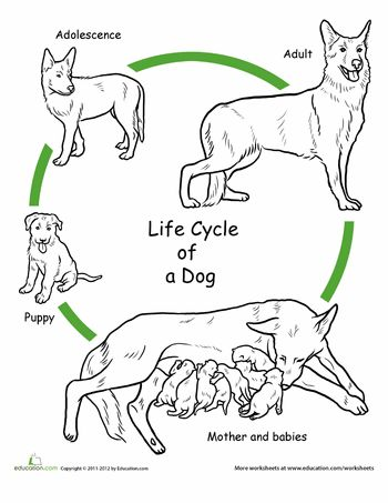 Worksheets: Color the Life Cycle: Dog