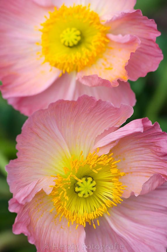 iceland #poppy | palaver nudicaule | photo || herzig fotografie