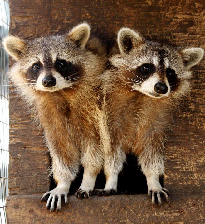 ^Cute little raccoons