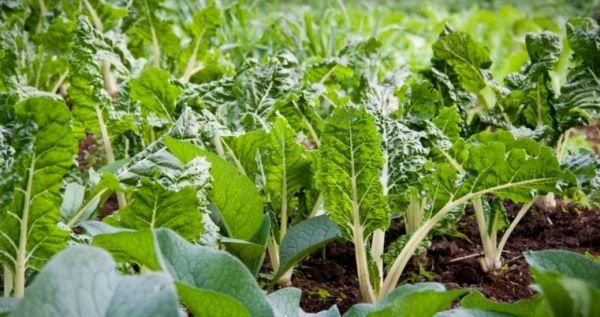 Mángold: három zöldség egyben | Mindmegette.hu