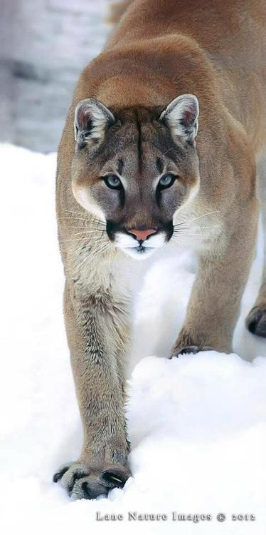 Did you know that cougars are the largest big cat in the United States? They are also known as Mountain Lions or Pumas #FunFactFriday