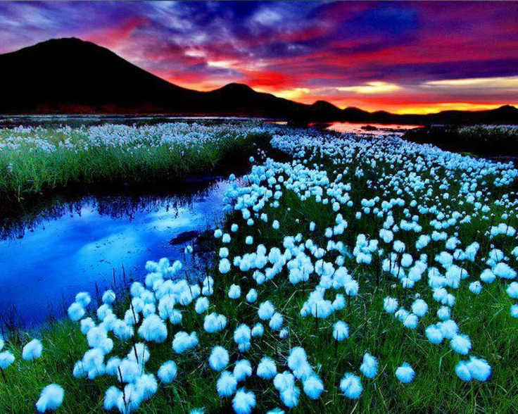 Cotton grass in Landmannalaugar, Iceland. See more on Landmannalaugar here: http://www.landmannalaugar.net/