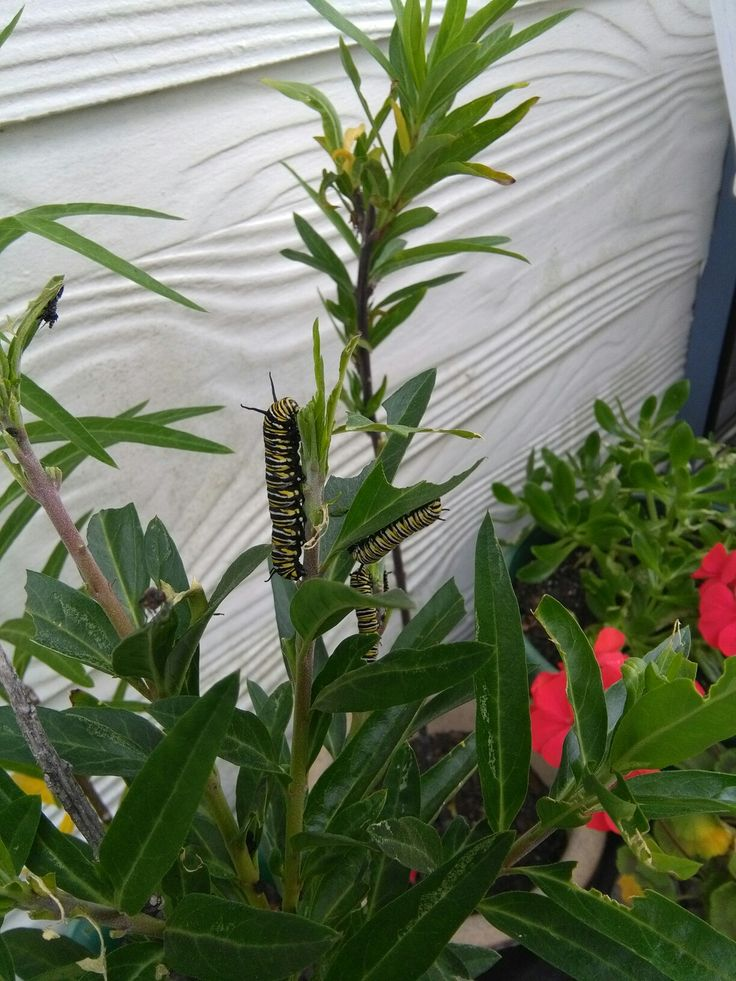 Hungry caterpillars on swan plants.