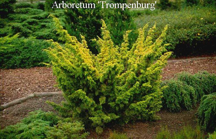 "juniperus chinensis plumosa aurea - ""Google"" paieška"