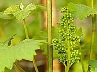 Vinařův červen: réva v květu, prosvětlení a houbové choroby