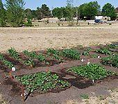 10 Tips For Growing Bush Beans   Blue Lake, Kentucky Wonder