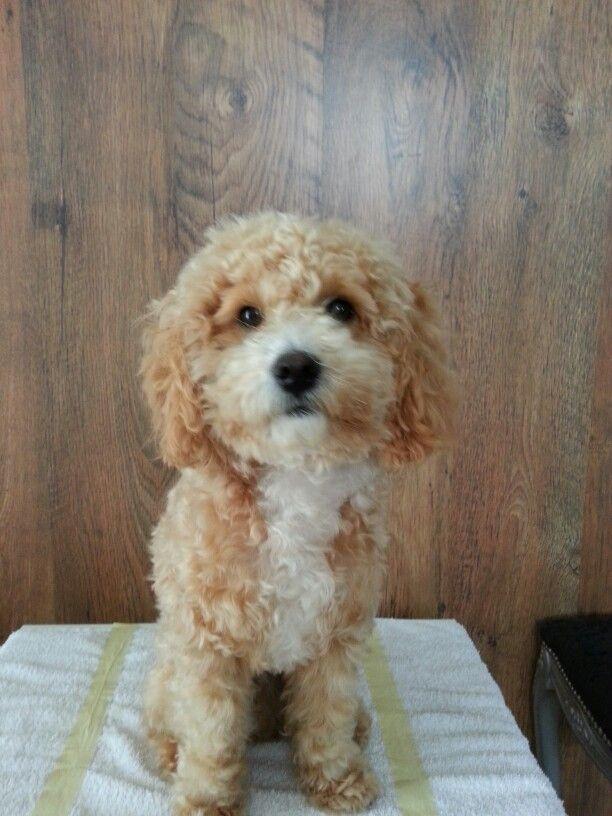 #poddle #barboncino #cucciolo #love #teo