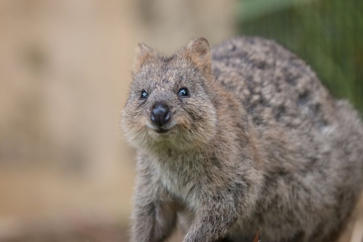 Rottnest Day Trip: Only Place In The World For That Elusive #QuokkaSelfie