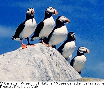 Puffins of Cape Breton, Nova Scotia