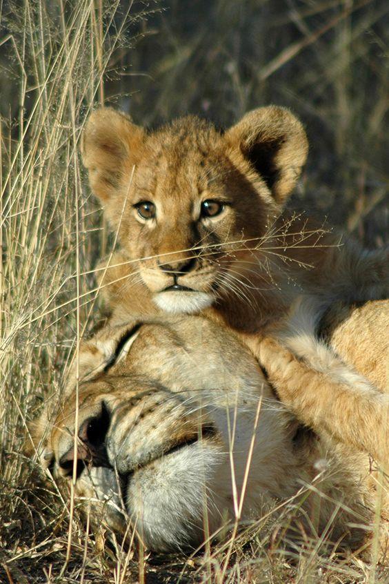 Für dieses Löwenbaby ist die Welt einfach viel zu spannend, um zu schlafen