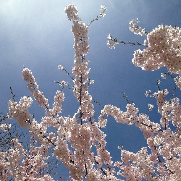 Sakura cherry trees in bloom at York University
