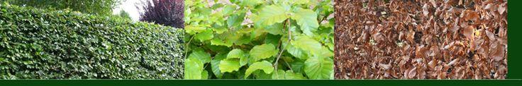 Groene Beuk - Fagus sylvatica De Beuk is zeer geschikt voor haag, en wordt ook al sinds decennia gebruikt als haagplant bij boerderijen. U kunt een zeer mooie strakke haag realiseren die in de zomer groen is en de winter bruin. Goed te gebruiken voor vormen zoals kolommen, zuilen en blokken. Stam moet bedekt zijn voor bescherming tegen de zon.