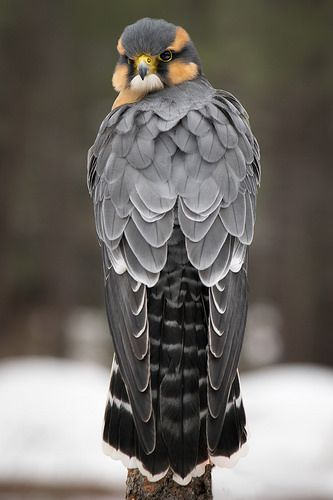"""Aplomado Falcon 