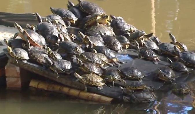 Las tortugas de Atocha se comen unas a otras