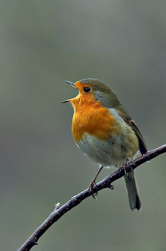 Robin bird Singing, Aww! Bless