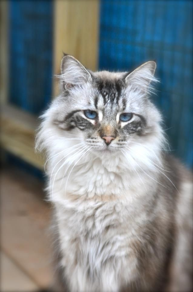 Ragdoll Rescue Texas