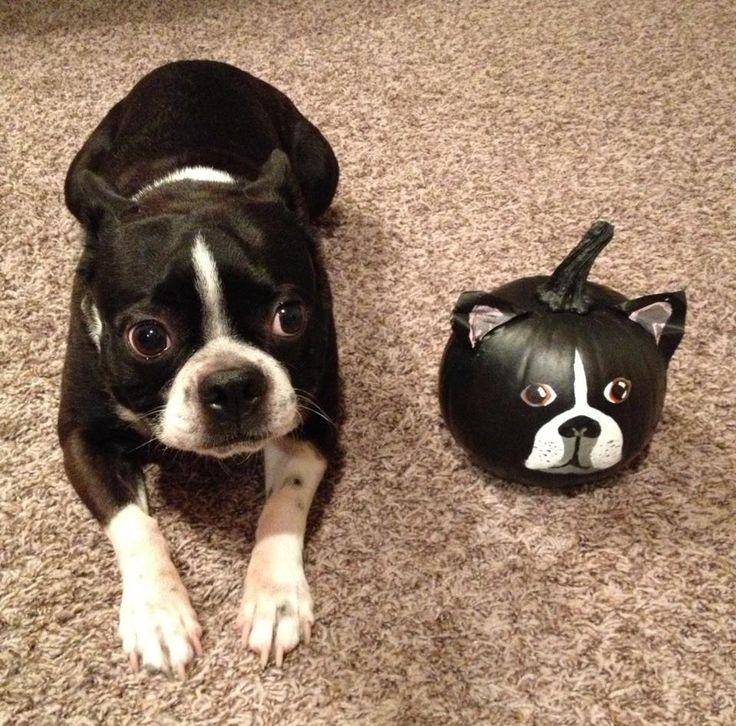 Best 25 Boston terrier halloween ideas on Pinterest