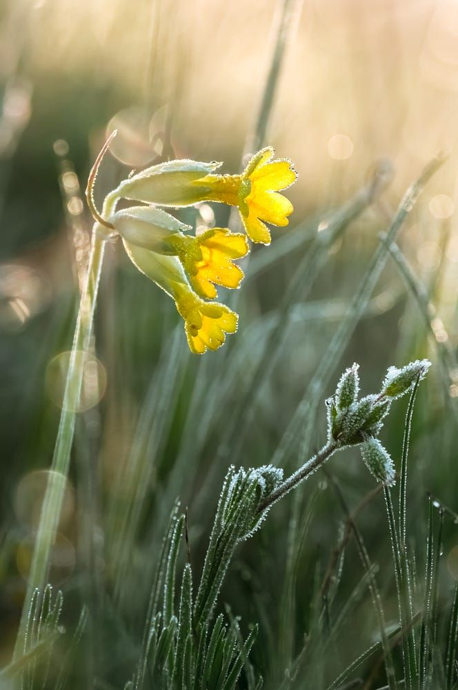 Cowslips (Primula veris) in a fresh spring morning by Viktoria  Pettenkoffer on 500px