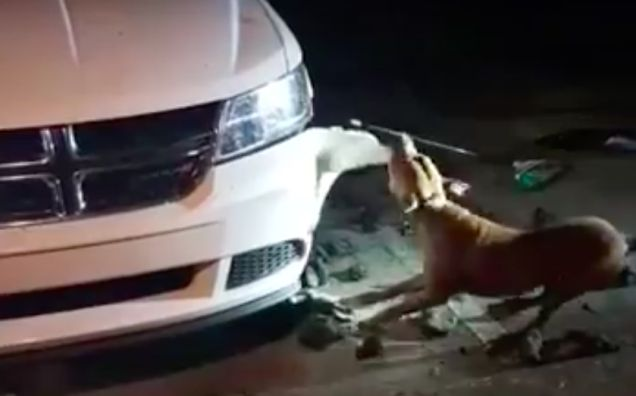 Girl Pleads With Officer To Shoot Puppy Chewing Up The Woman Dodge Journey's Front Bumper