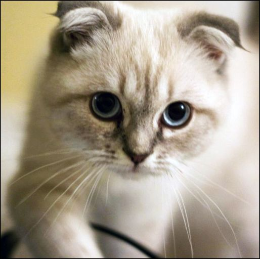 Scottish Fold - See more cat picture at catincare.com!
