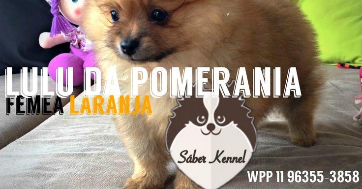 DISPONÍVEL - Spitz Alemão (Lulu da Pomerânia) fêmea, laranja. wpp 11 96355 3858