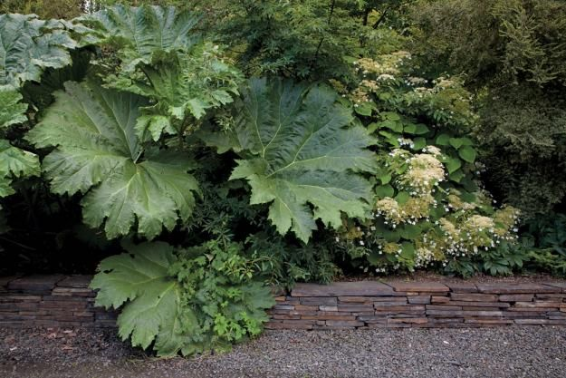 Gunnera tinctoria, collected in southern Chile, seems to be winning the battle for space over an abundantly flowered Hydrangea longipes, native to Sichuan, China. Yet the gunnera will die down for the winter while the woody hydrangea won't.