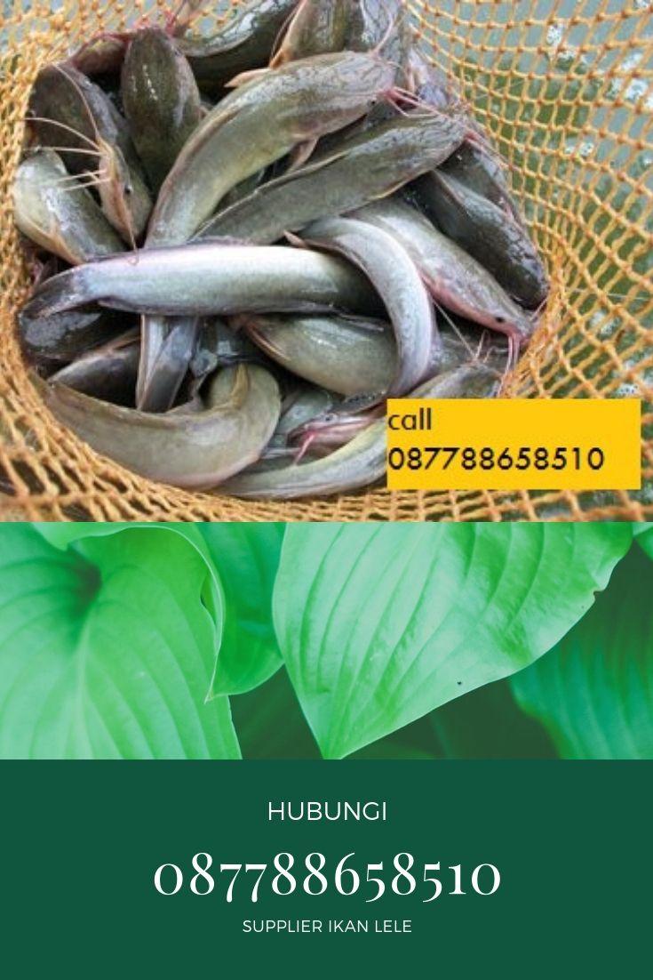 Jual Benih Ikan Lele Karawang - BENIH TOKO