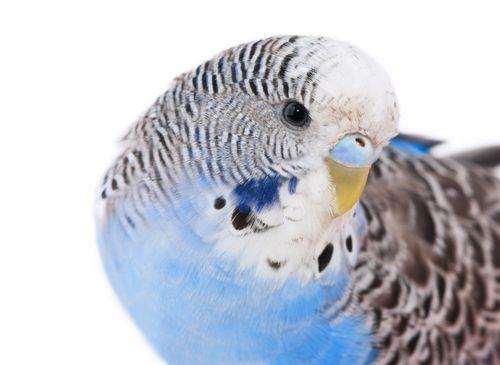 www.petclic.es la mayor tienda online de productos para #mascotas. La mayor biblioteca de contenido y consejos sobre mascotas. 1.000 consejos. 50.000 imágenes. Foto del #aves #pajaros #animal #periquito